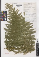 Isotype of Hypolepis glandulifera Brownsey & Chinnock [family DENNSTAEDTIACEAE]