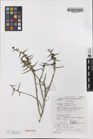 Holotype of Daviesia intricata subsp. xiphophylla Crisp [family FABACEAE]