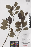 Isotype of Casearia grayi Jessup [family FLACOURTIACEAE]
