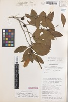 Holotype of Melaleuca cajuputi Powell subsp. platyphylla Barlow [family MYRTACEAE]