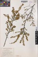 Isotype of Acacia leptospermoides subsp. obovata Maslin [family FABACEAE]