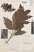 Isotype of Guioa normanbiensis Welzen [family SAPINDACEAE]