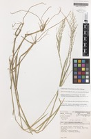 Isotype of Cliffordiochloa parvispiculata B.K.Simon [family POACEAE]