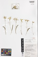 Isotype of Caladenia erminea Hopper & A.P.Br. [family ORCHIDACEAE]