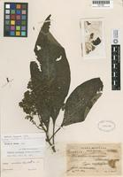 Isotype of Buddleja ovandensis Lundell ex E. M. Norman [family LOGANIACEAE]