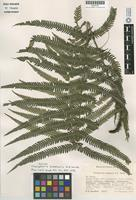 Isotype of Thelypteris blepharis A.R.Sm. [family THELYPTERIDACEAE]