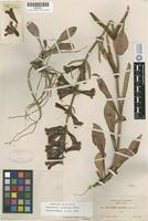 Holotype of Penstemon piliferus A. Heller [family SCROPHULARIACEAE]