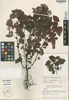 Holotype of Acalypha wigginsii G. L. Webster [family EUPHORBIACEAE]