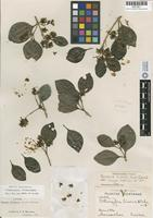 Isotype of Citharexylum trinerve S. F. Blake [family VERBENACEAE]