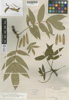 Isotype of Fraxinus inopinata sargent [family OLEACEAE]