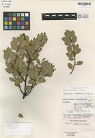 Holotype of Arctostaphylos serpentinicola Roof [family ERICACEAE]