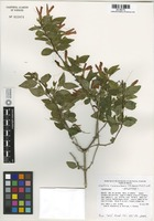 Holotype of Justicia cuixmalensis T.F. Daniel & E.J. Lott [family ACANTHACEAE]