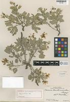 Holotype of Cassia mensicola H. S. Irwin & Barneby [family CAESALPINIACEAE]