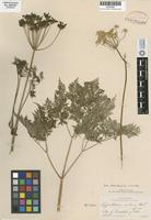 Isotype of Ligusticum nelsonii J. M. Coulter & Rose [family APIACEAE]
