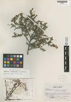 Isotype of Spiraea northcrafti I.M.Johnst. [family ROSACEAE]
