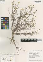 Isotype of Madia stebbinsii T. W. Nelson & J. P. Nelson [family ASTERACEAE]
