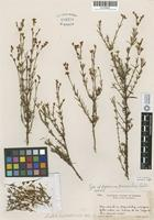 Holotype of Hypericum peninsulare Eastw. [family HYPERICACEAE]