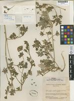 Holotype of Abronia carterae Ferris [family NYCTAGINACEAE]