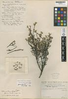 Holotype of Alternanthera filifolia J.T.Howell subsp. glauca J. T. Howell [family AMARANTHACEAE]