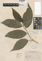Isotype of Piper bakeri C. de Candolle [family PIPERACEAE]