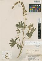 Holotype of Lupinus cutleri Eastw. [family FABACEAE]