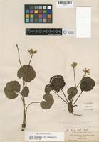 Isotype of Caltha leptosepala DC. var. howellii Huth [family RANUNCULACEAE]