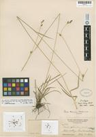 Isotype of Carex abramsii Mackenzie [family CYPERACEAE]