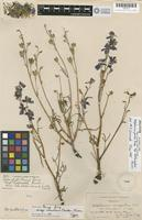 Holotype of Delphinium parryi A. Gray subsp. eastwoodiae Ewan [family RANUNCULACEAE]