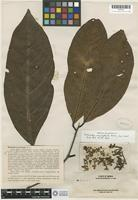 Isotype of Endiandra macrophylla Merrill [family LAURACEAE]