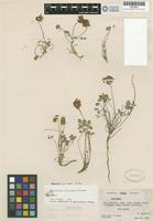 Holotype of Trifolium rollinsii Gillett [family FABACEAE]