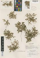 Isotype of Calyptridium parryi A. Gray var. hesseae J. H. Thomas [family PORTULACACEAE]