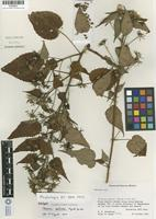 Holotype of Pavonia monticola Fryxell [family MALVACEAE]