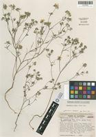 Isotype of Lagophylla dichotoma Benth. subsp. minor D. D. Keck [family ASTERACEAE]
