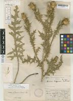 Holotype of Cnicus rothrockii A. Gray var. diffusus Eastw. [family ASTERACEAE]