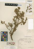 Holotype of Lupinus intortus C. P. Smith [family FABACEAE]
