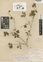 Holotype of Acer bernardinum Abrams [family ACERACEAE]