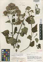 Isotype of Bartlettina breedlovei R.M.King & H.Rob. [family ASTERACEAE]