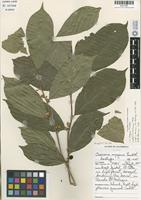 Isotype of Casearia mayana Lundell [family FLACOURTIACEAE]