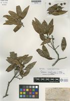 Isotype of Quercus pinnativenulosa C. H. Muller [family FAGACEAE]