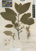 Isotype of Styrax radians P. Fritsch [family STYRACACEAE]