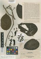 Isotype of Mucuna elmeri Merrill [family FABACEAE]