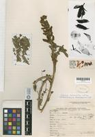 Holotype of Lupinus monettianus C. P. Smith [family FABACEAE]