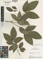 Isotype of Galipea congestiflora Pirani [family RUTACEAE]