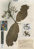 Isotype of Guarea matudae Lundell [family MELIACEAE]