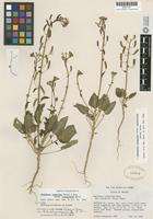 Isotype of Oenothera scapoidea Torr. & A. Gray subsp. brachycarpa P. H. Raven [family ONAGRACEAE]