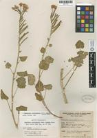 Isotype of Oenothera cardiophylla Torr. subsp. robusta P. H. Raven [family ONAGRACEAE]