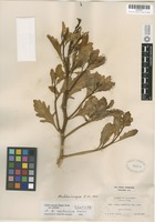 Isotype of Cakile californica A. Heller [family BRASSICACEAE]