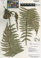 Isotype of Dryopteris kweichowicola Ching ex P. S. Wang [family ASPIDIACEAE]