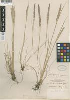 Isotype of Koeleria gracilis Pers. subsp. idahensis Domin [family POACEAE]