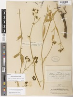 Isotype of Allionia melanotricha Standl. [family NYCTAGINACEAE]
